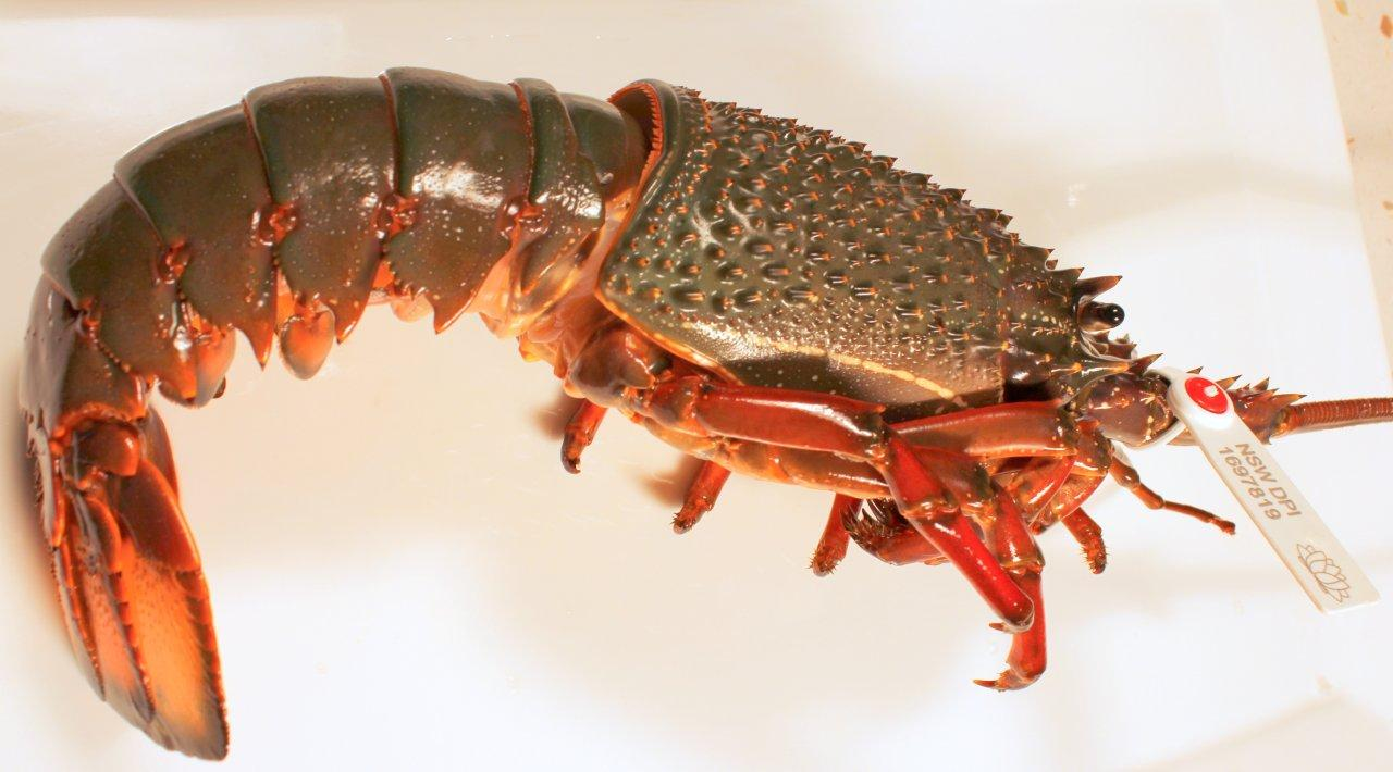 Eastern Rocklobster