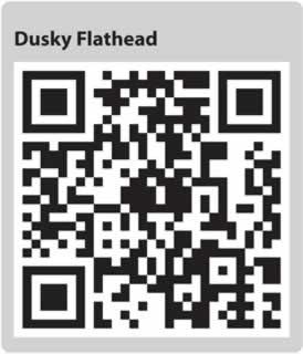 Dusky Flathead